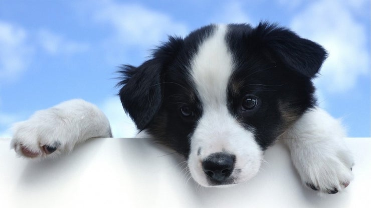 Black and white puppy looking over a wall