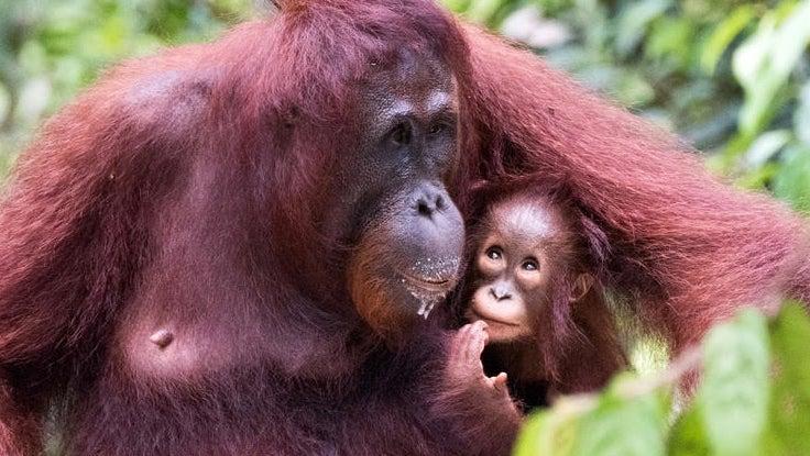 Wwf Orangutan 1